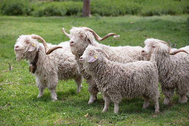 Chèvres angoras - toison d'or, Pull 100% Mohair des Fermes de France